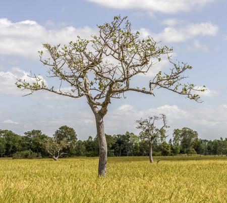 Albero nel campo di riso Archivio Fotografico - 90102521