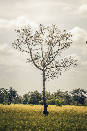Tree in the rice field
