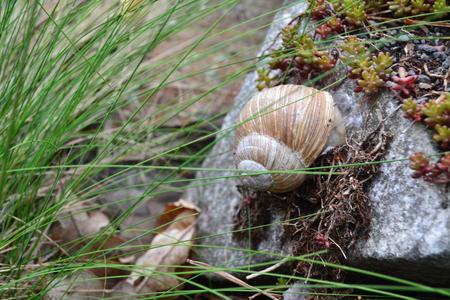 molluscs: Snail on a stone