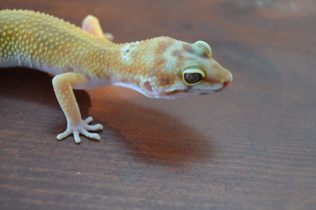 vivarium: Species one of the most beautifully colored gekos