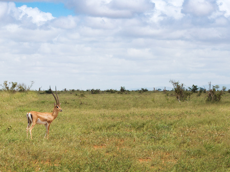 One gazelle in the savanna wilderness Stock Photo