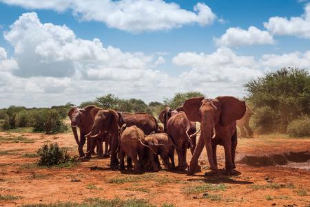 Group of elephants in the savannah wilderness