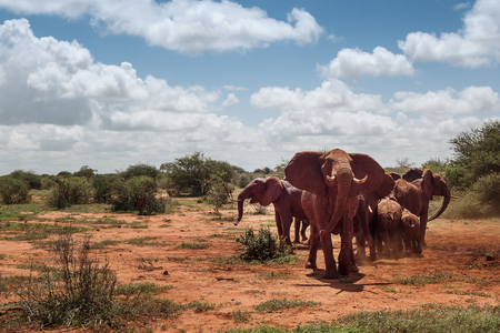 Group of elephants in the savannah wilderness