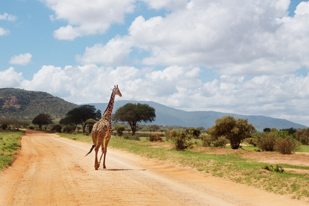 One giraffe in a savanna track