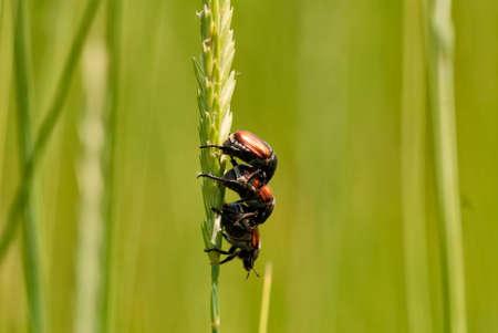 bug's: Bugs mating Stock Photo