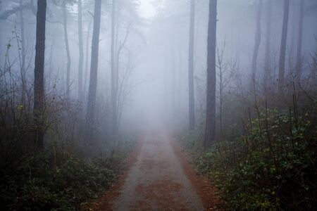 woodland  horror: mystrious foggy forest in winter