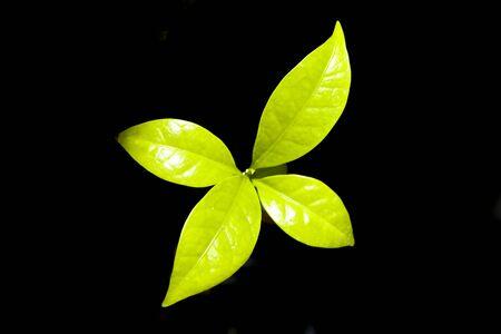 planta de cafe: sembrar caf� Foto de archivo