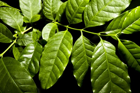 coffee plant photo