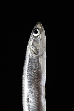 vertical sardine on black background photo