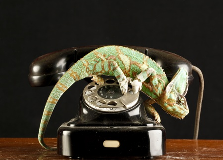 chameleon on a telephone photo
