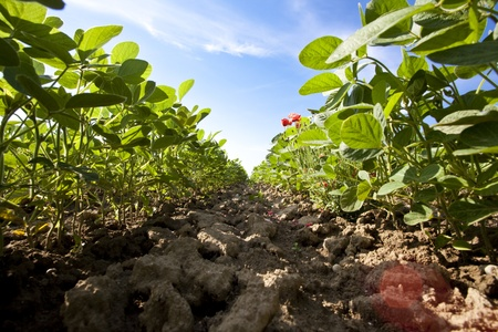 soya plants Stock Photo