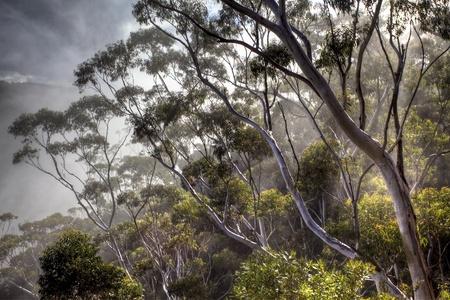 eucalyptus trees Stock Photo