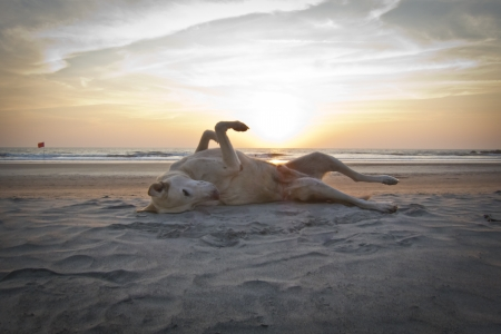 stray dog: dog enjoying  sunset on the beach Stock Photo