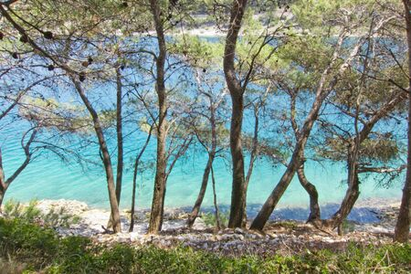 brac: beautiful maritime pine on the sea, rocky beach, croatia