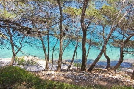 adriatic: beautiful maritime pine on the sea, rocky beach, croatia