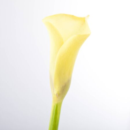 beautiful yellow Calla lily flower, Zantedeschia photo