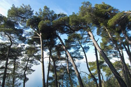mediterranean forest: maritime pine