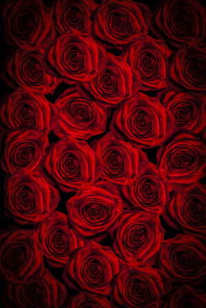 single rose: beautiful red roses background