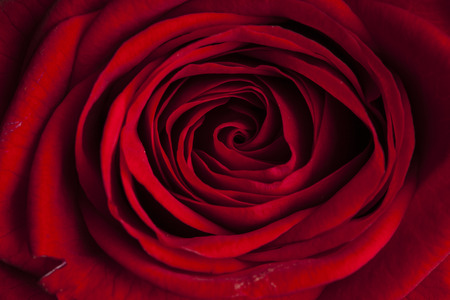 beautiful red rose macro shot close up