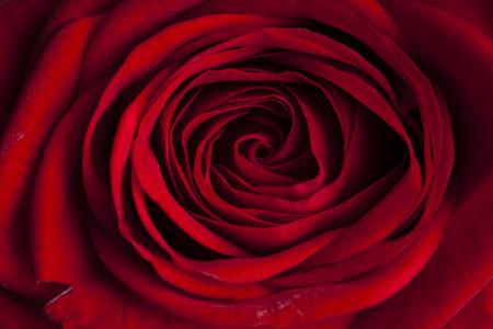 black white red: beautiful red rose macro shot close up