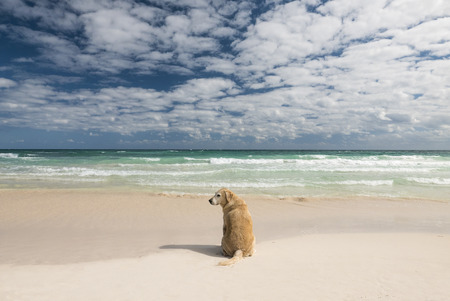 contemplative: Dog looking at the sea in a tropical beach. free and contemplative mood Stock Photo