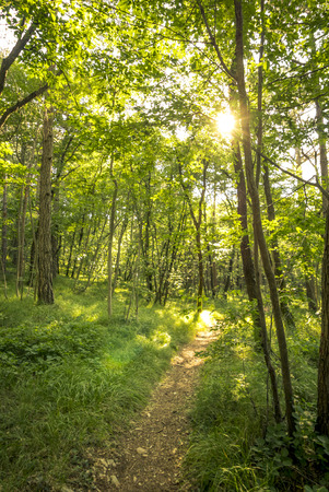 green backgrounds: beautiful green forest in summer. Forest trees. nature green wood sunlight backgrounds Stock Photo