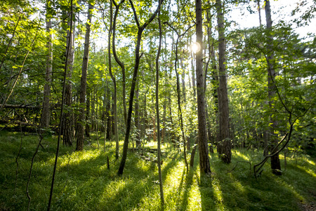 nature of sunlight: beautiful green forest in summer. Forest trees. nature green wood sunlight backgrounds Stock Photo