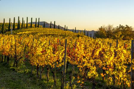 hilera: Vineyard in autumn, beautiful rural landscape in Collio region, Italy