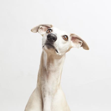 아름다운 whippet 강아지의 스튜디오 초상화