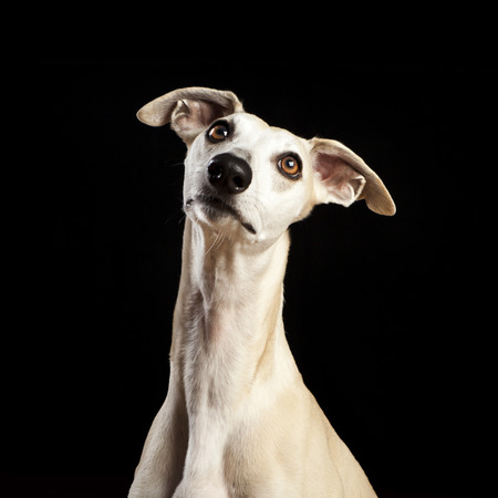 studio portrait of a beautiful whippet dog Stok Fotoğraf