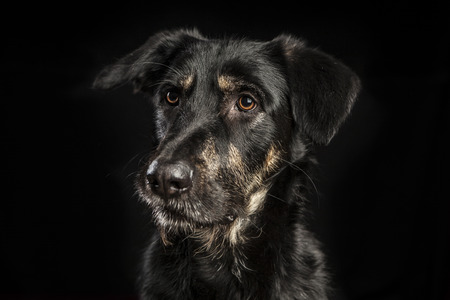 portrait of a beautiful crossbreed dog on black background