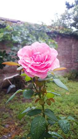 A rose in all its delicate and fragrant splendor in the garden