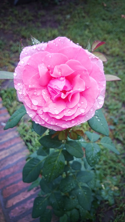 A rose in all its delicate and fragrant splendor Imagens