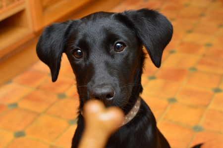 Black Labrador puppy staring at a biscuit