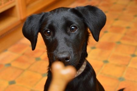 Zwart Labrador puppy staren naar een koekje Stockfoto