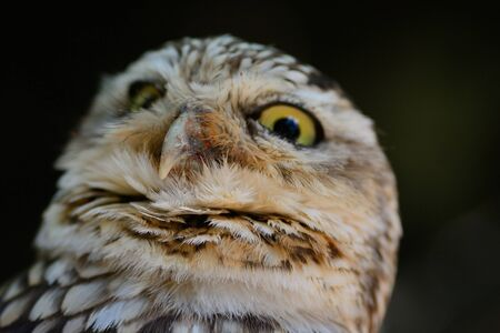 Head shot of a little owl Stock Photo