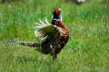 Low angle view of a male pheasant flapping its wings
