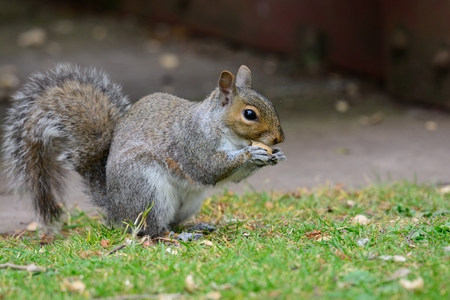 Low angle view of a squirrel sitting on the grass while eating a nut
