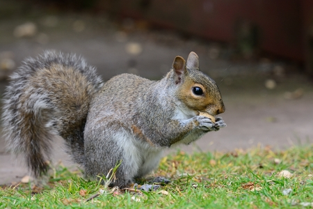Grey squirrel standing on the grass while eating a nut