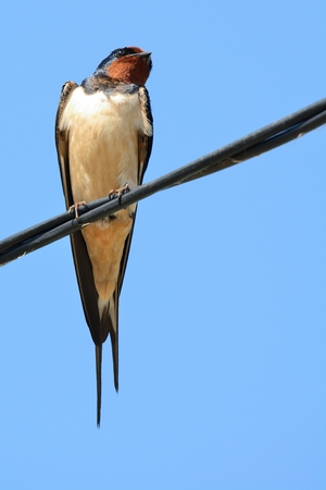 Swallow perched on a phone wire