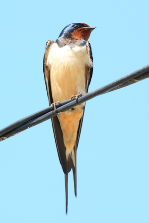 Portrait of a swallow perching on a wire with the sky in the background
