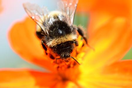 Macro shot of a bumble bee pollinating an orange coreopsis flower