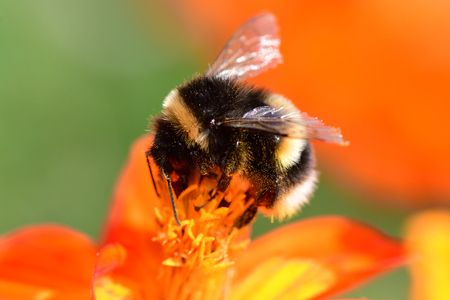 Close up of a bumblebee polinating an orange coreopsis flower Stock Photo