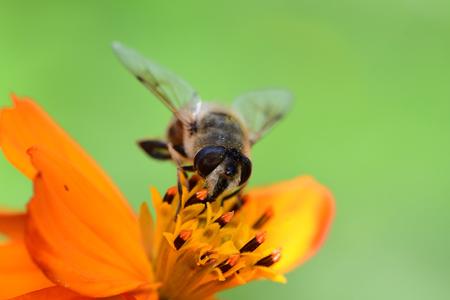 Macro shot of a bee pollinating an orange coreopsis flower