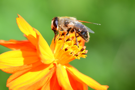 Side view of a bee pollinating an orange coreopsis flower Фото со стока