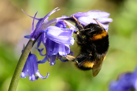 Macro shot of a bumble bee pollinating a bluebell flower Stock Photo