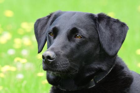 Head shot of a young black Labrador in the garden