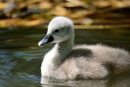 Close up portrait of a newborn cygnet swimming in the water