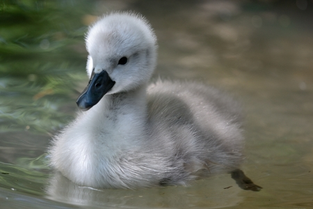 Portrait of a newborn cygnet swimming in the water
