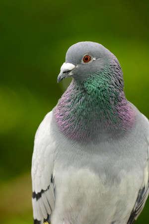 Close up portrait of a wild pigeon Standard-Bild